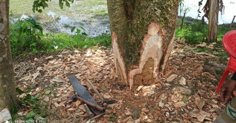 পূর্বধলায় জোরপূর্বক গাছ কেটে জমি দখলের অভিযোগ